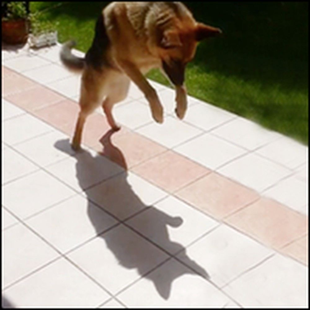 Happy German Shepherd Plays With His Own Shadow