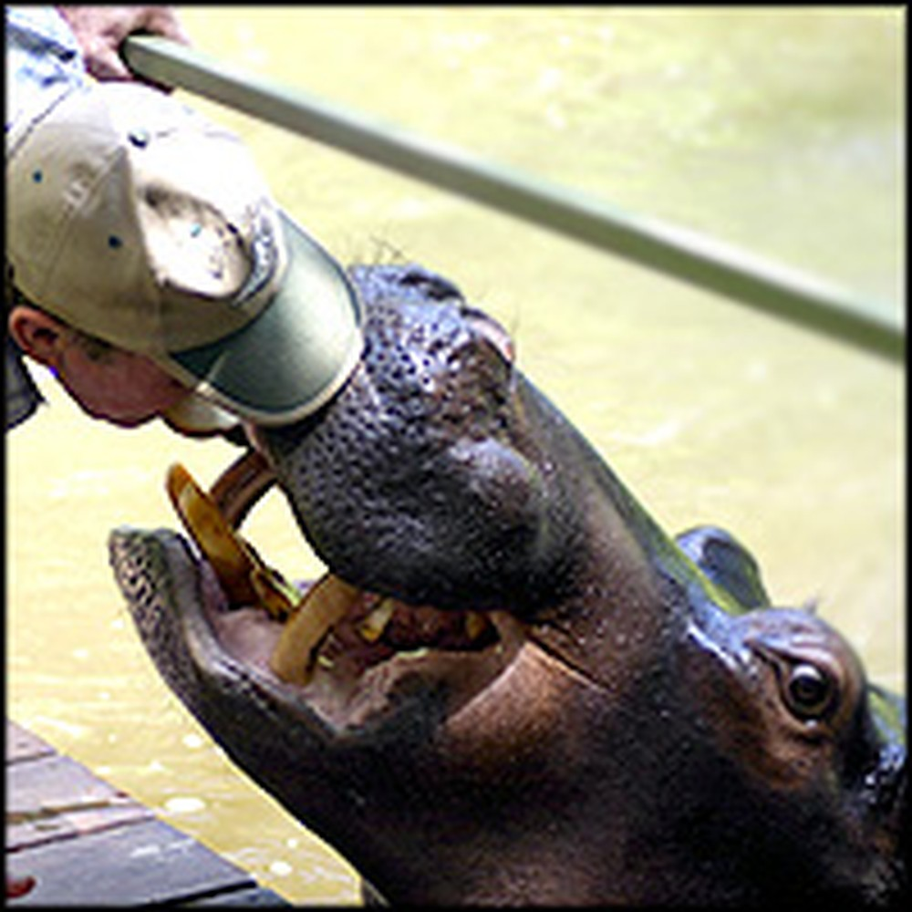 Couple Has a Special Bond With an Unusual Jungle Creature- a Hippo