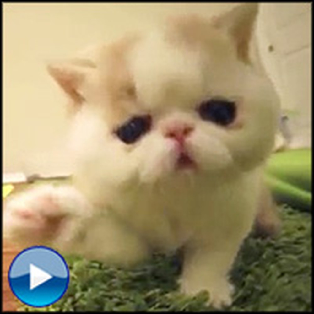 Hilarious Kitten Does the Cutest Things When it Sees a Camera