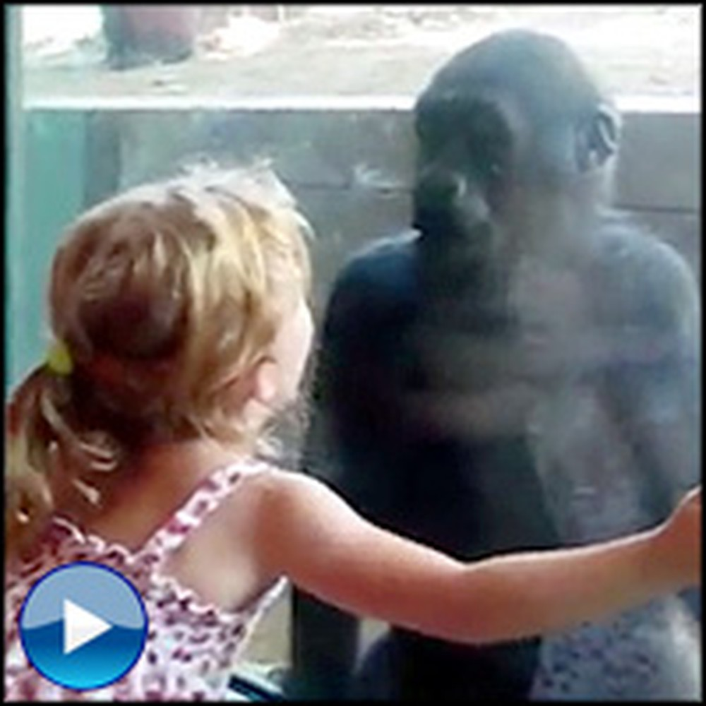 Little Girl Befriends a Baby Gorilla - It's the Cutest Thing Ever