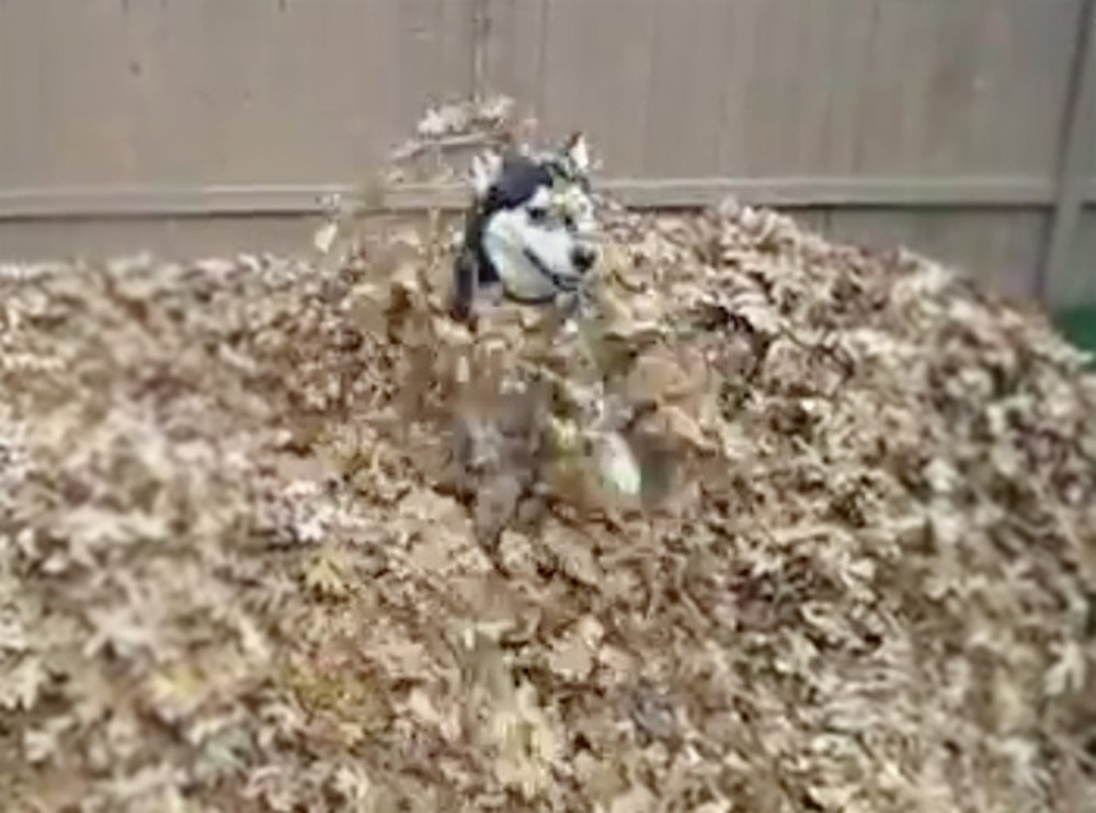 Husky Has the Time of her Life in a Leaf Pile - a Must See Cute Video