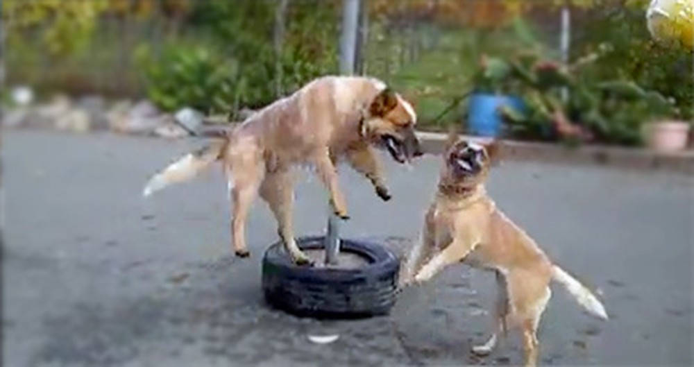 Two Adorable Dogs Play the Cutest Game of Tetherball Ever - Aww!
