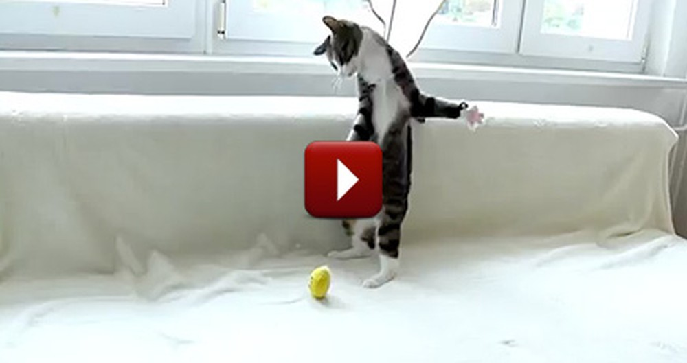 When This Kitty Plays He Does Something Ridiculously Cute