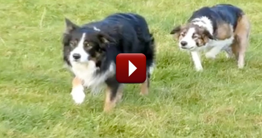 When Sheepdogs Get Bored, They Find a Way to Make Their Own Fun