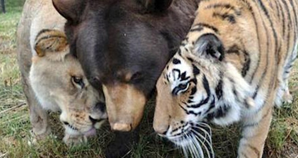 Lions, Tigers and Bears... Oh MY! These Three Creatures of God Found Family in Each Other.
