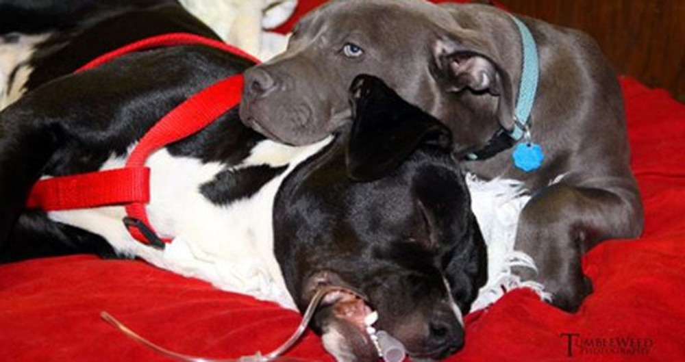 Pit Bull Puppy Gives Other Dogs Incredible Love and Care - a Sight You Need to See
