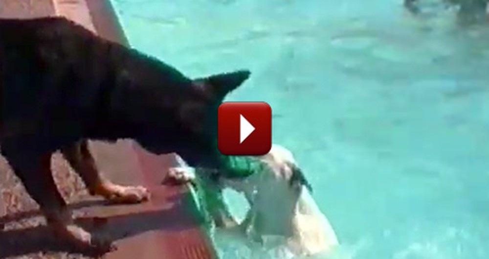 The World's Most Heroic Dogs Save Their Friends - the Cutest Rescues
