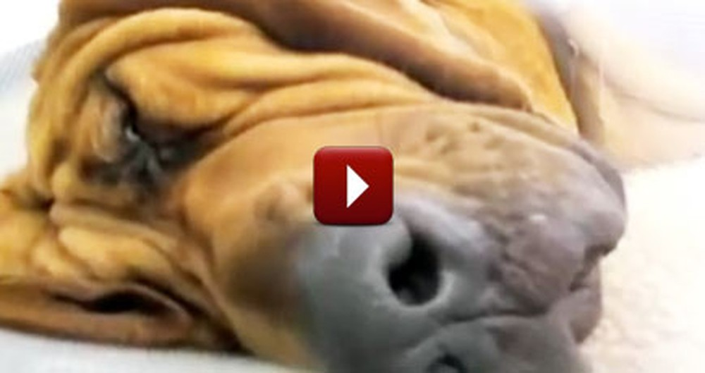 An Adorable Compilation of Snoring Animals - Natural Stress Relief