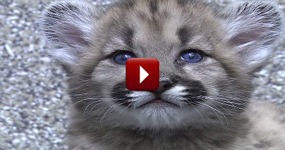 Rescued Cougar Orphans are Absolutely the Cutest!