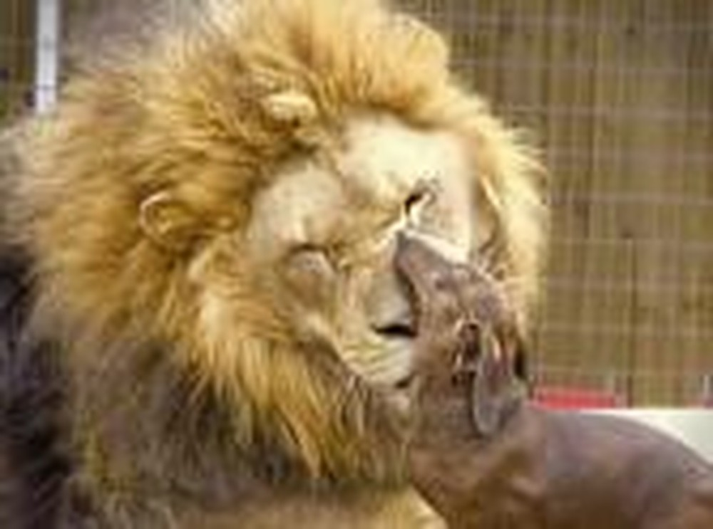 Big Lion With Disabilities Becomes Life-Long Friend with Hot-Dog!
