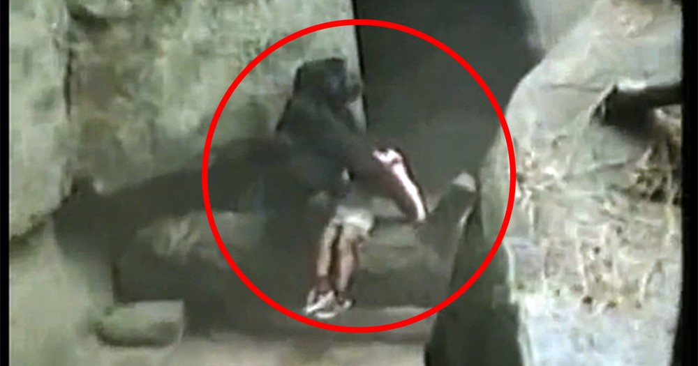 Gorilla Miraculously Saves Toddler's Life After He Fell into a Dangerous Den