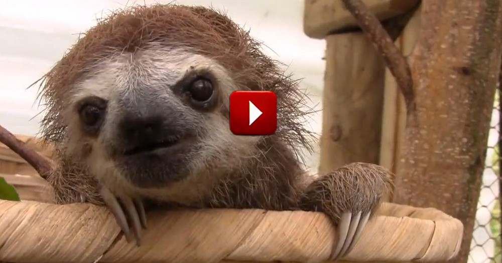 I Had NO Idea Sloths Were So Cute. Seriously, This Should Not Have Been A Secret from Me!