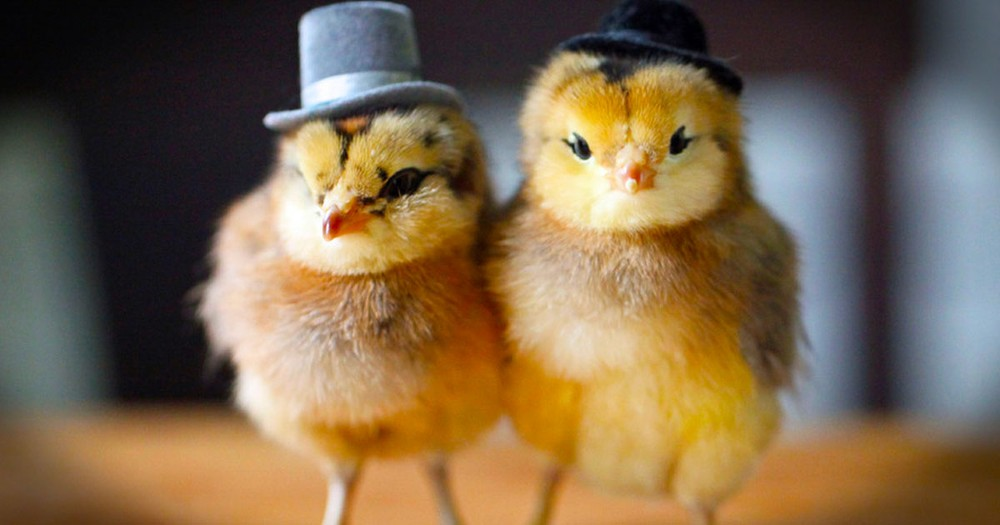 These 10 Chicks Are So Cute You'll Want To Share Them With All Your Peeps.