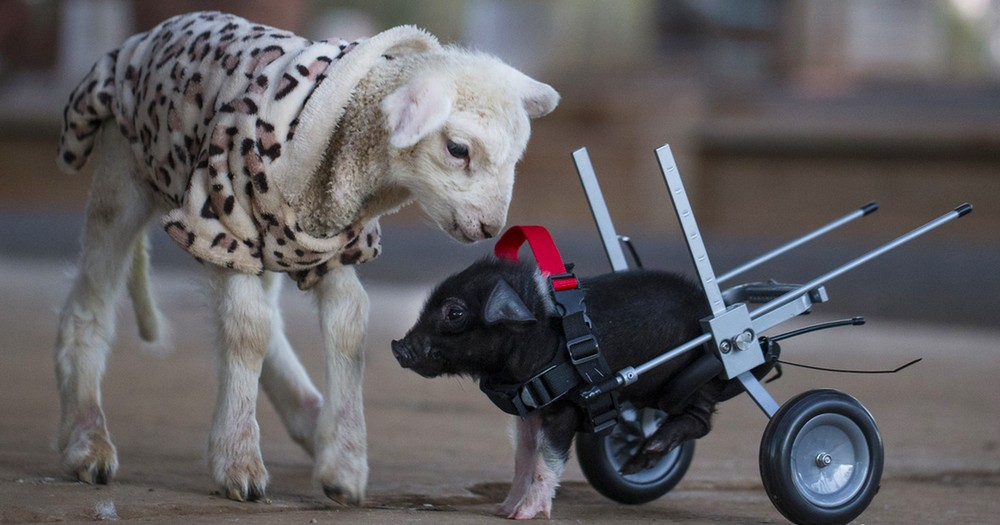 This Piglet Was Headed to The Slaughterhouse… Then a Tragedy Saved His Life