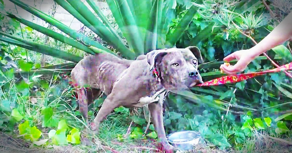 At First, This Poor Pit Bull Made My Heart Weep.  But I'm So Glad I Hung In To See The End!