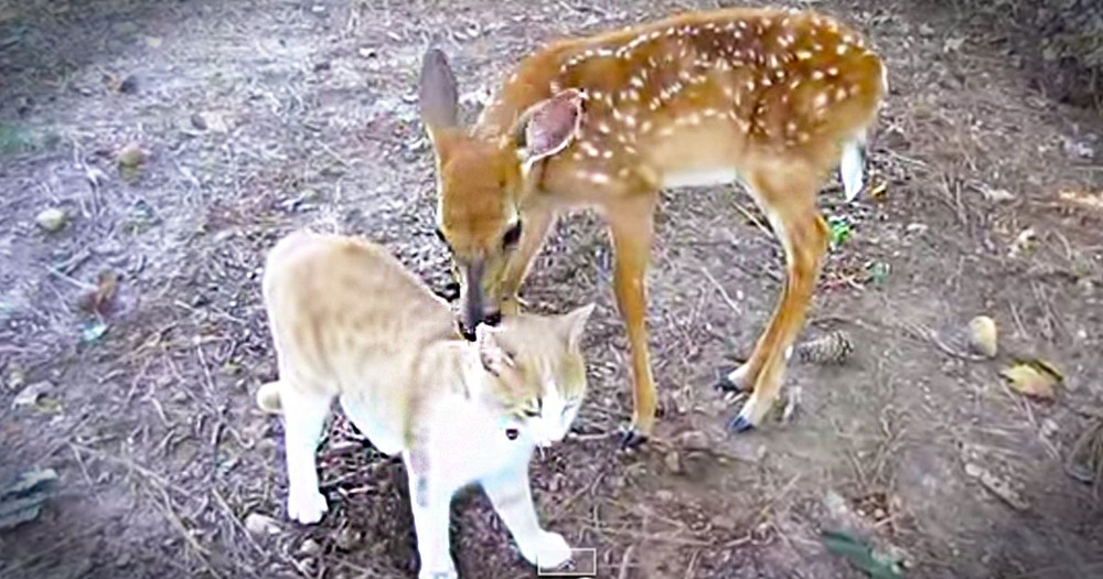 This Rescued Deer Just Made An Unlikely Best Friend. And The Kitty Kisses Are Cuteness Overload!