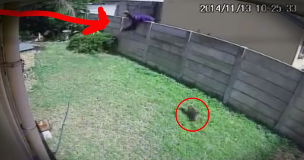 Burglar Gets Chased Off By An Attack Yorkie