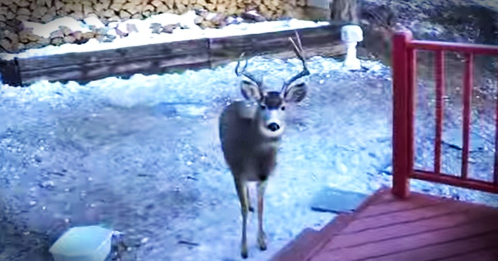 A Man Shares Breakfast With His Adorable Deer Friends