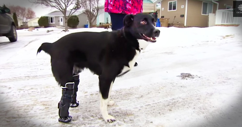 Dog That Lost Hind Legs To Cold Is Back On All Fours