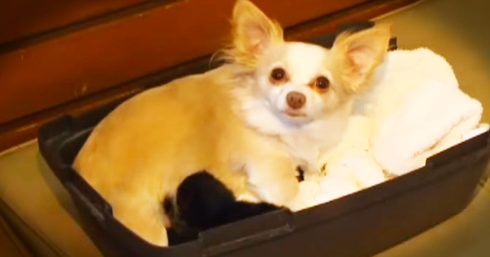 Chihuahua's Babies May Surprise You--Awww!