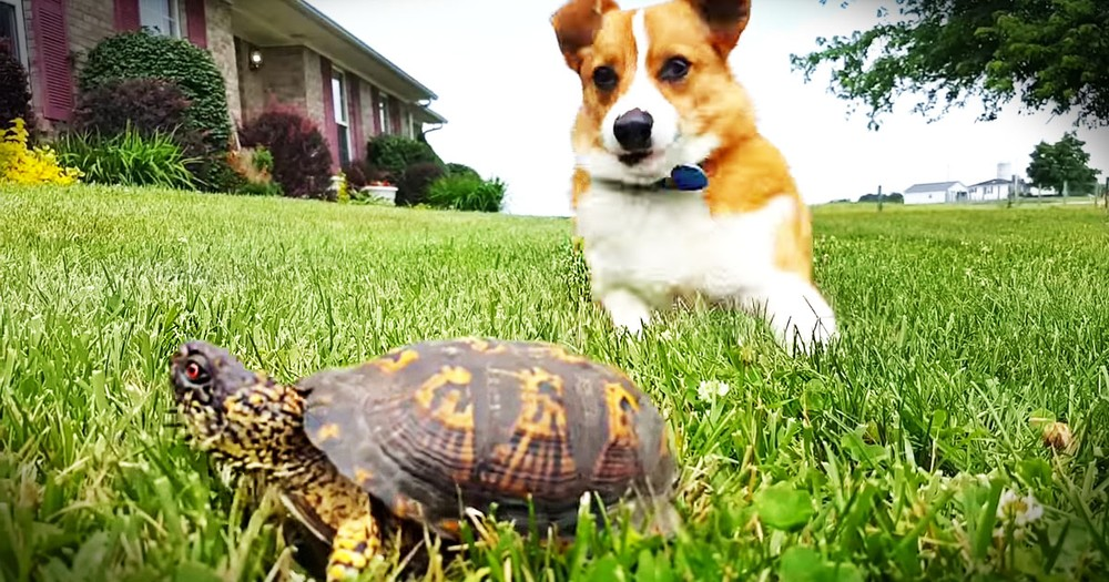 When This 'Rock' Started Moving, This Corgi Was Adorably Surprised!