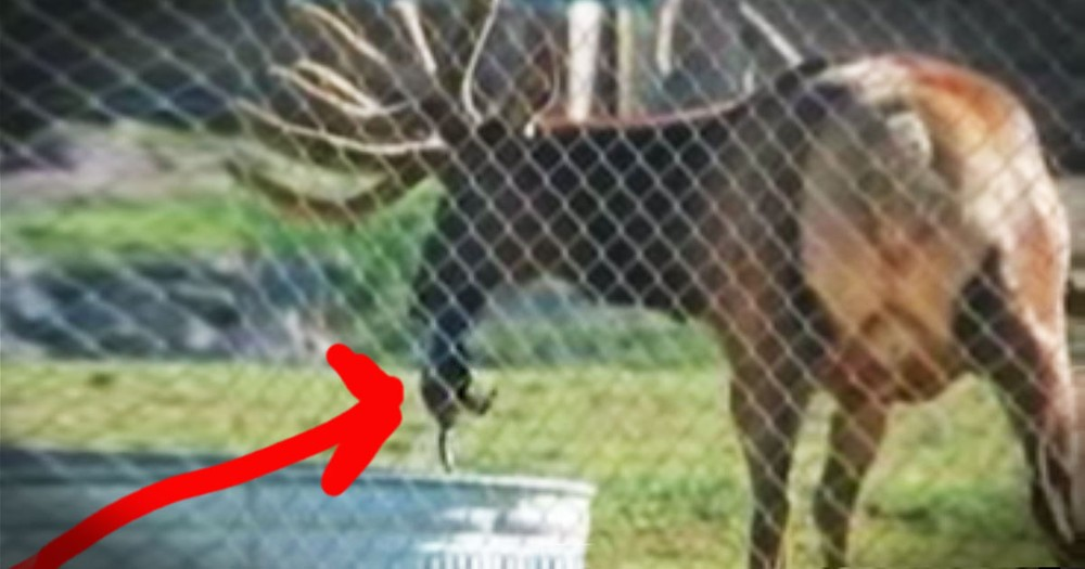 They Didn't Know What This Elk Was Doing Until He Saved A LIFE!