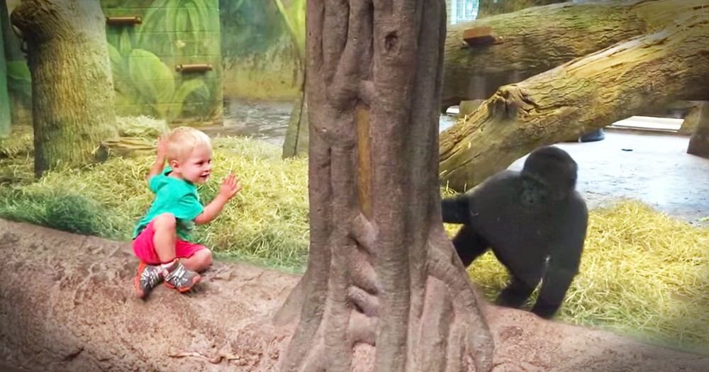 Baby Gorilla And Toddler Play Hide-and-Seek