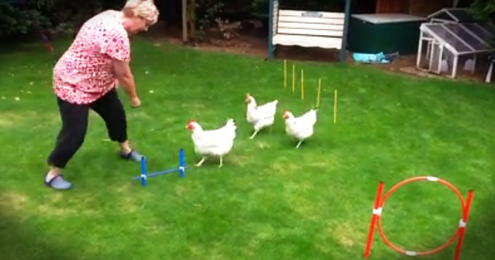 3 Chickens Will Crack You Up With Obstacle Course Skills