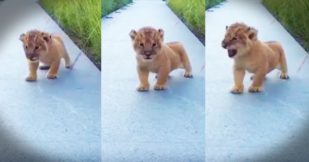 Lion's Tiny Roar Is Adorable...I Mean....Totally Frightening--LOL!