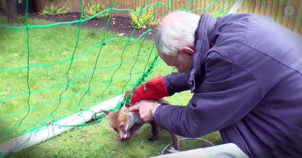 Fox Cub Caught In A Net Gets Beautiful Rescue