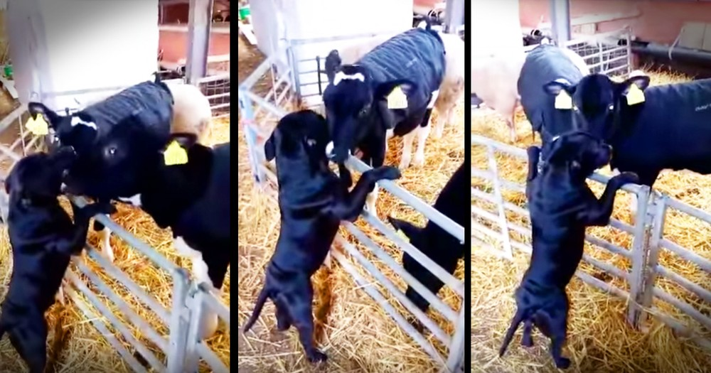 Dog Gets Lots Of Kisses From His Cow BFFs