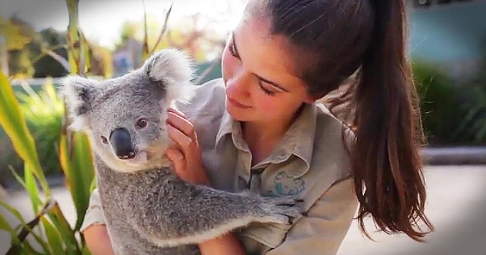 Cuddly Koala Loves To Get Belly Rubs