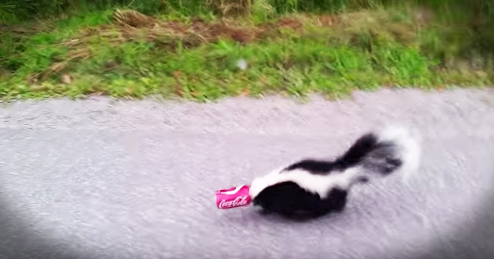 Man Bravely Rescues A Skunk And Films The Whole Thing