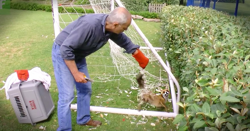 Feisty Fox Stuck In A Net Gets A Mesmerizing Rescue
