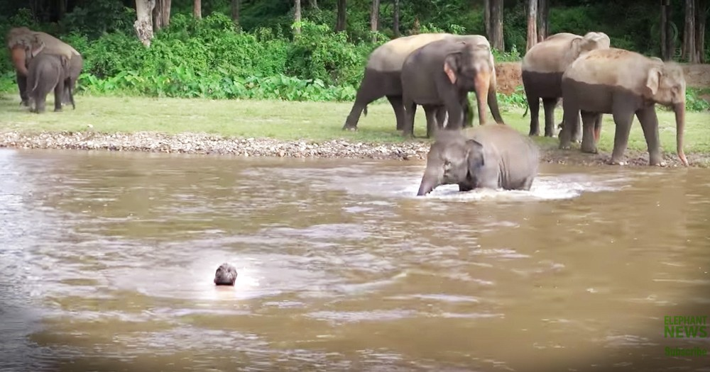 Sweet Baby Elephant Jumps In To Rescue Her Favorite Human She Thought Was Drowning