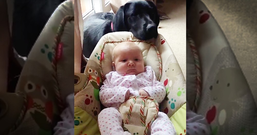 Precious Lab Helps Rock His New Baby Sister
