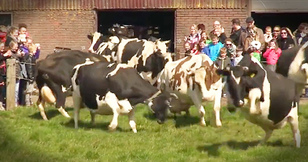 Cows Have Incredible Reaction To Going Outside For The First Time In Months