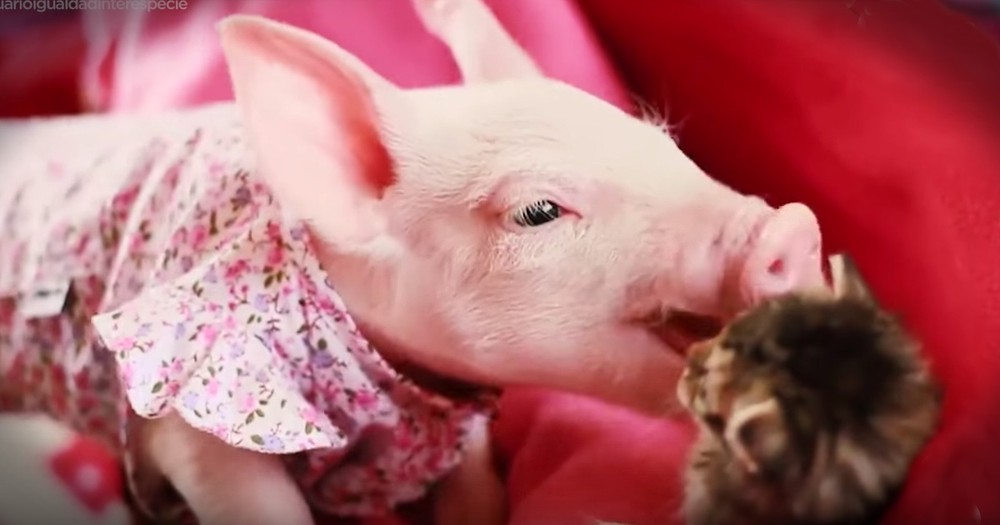 This Rescue Piggy And Kitty Are Best Friends And It's Adorable