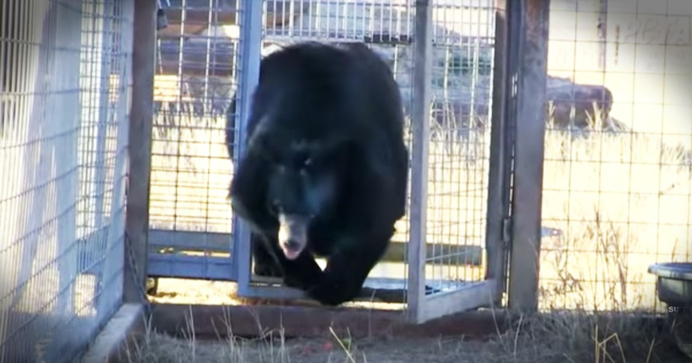 Bear Takes Heartwarming First Steps Of Freedom After 10 Years In Captivity