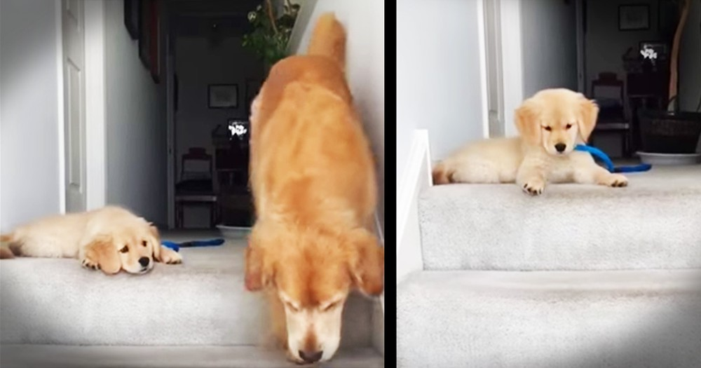 Precious Pup Can't Figure Out How His Mom Went Down The Stairs