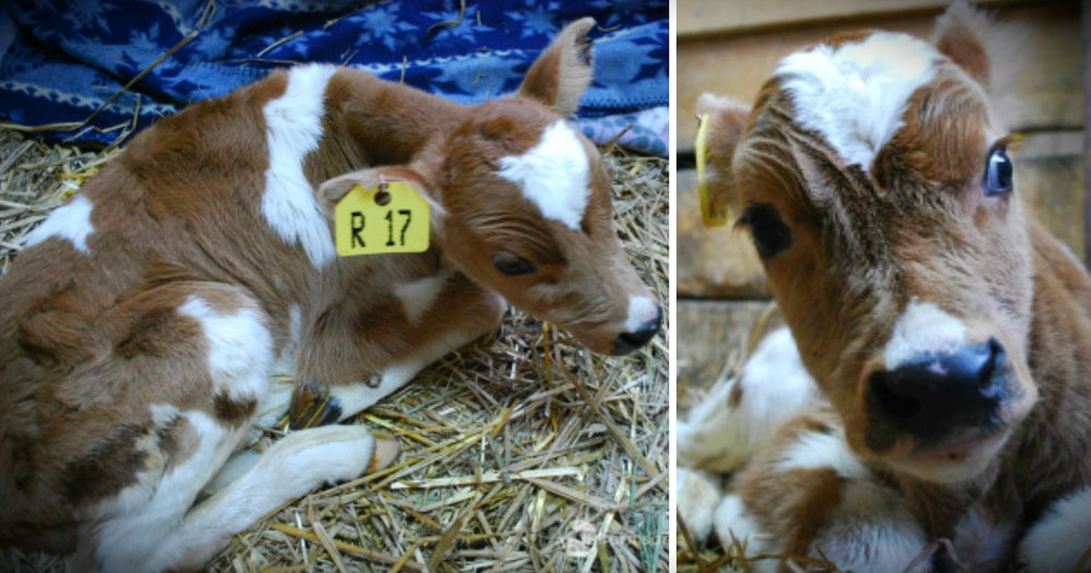Unwanted Baby Cow Considered 'Trash' Is Mocked At Auction