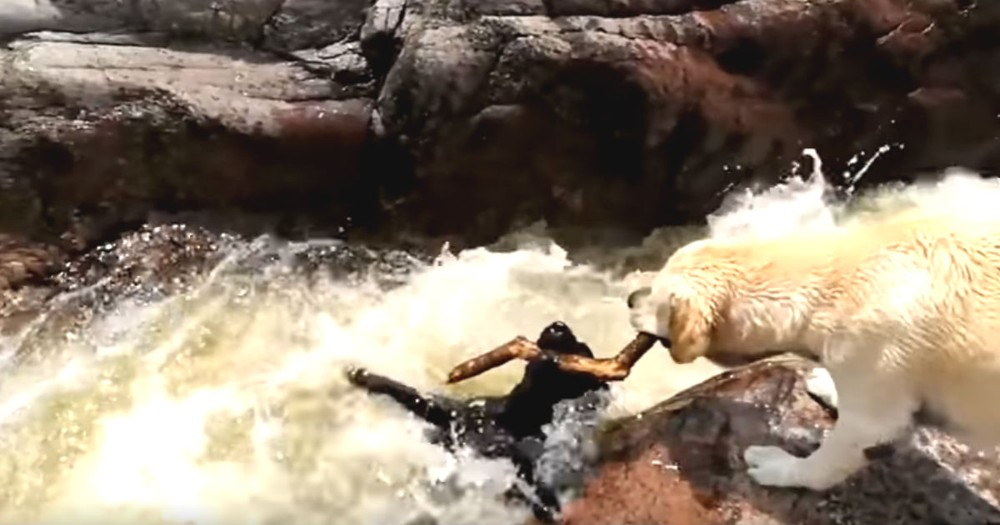 Hero Dog Saves Friend Dog From Dangerous Rapids