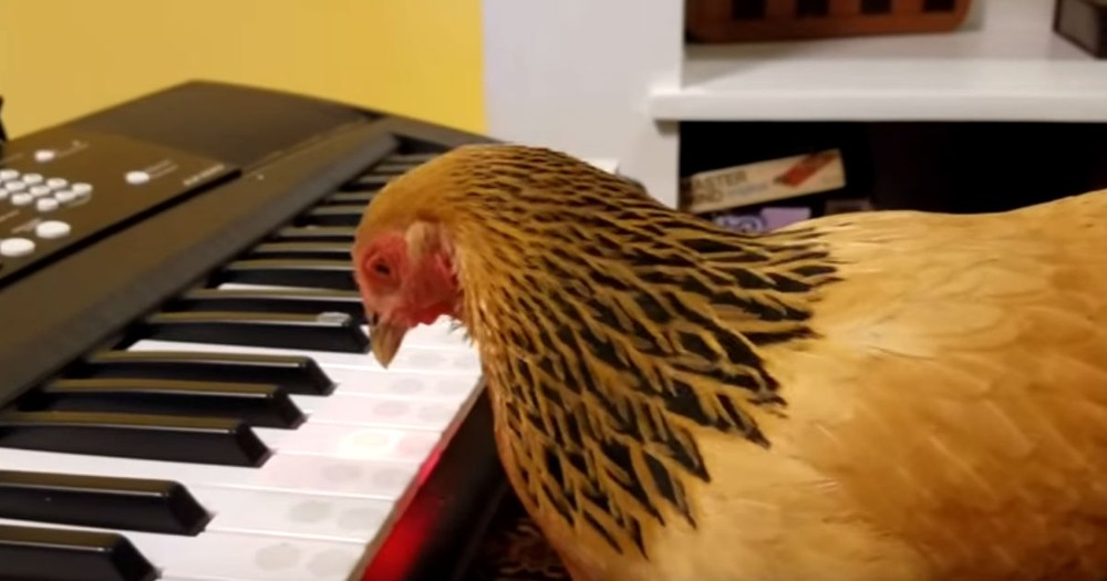 Chicken Plays America The Beautiful On The Piano
