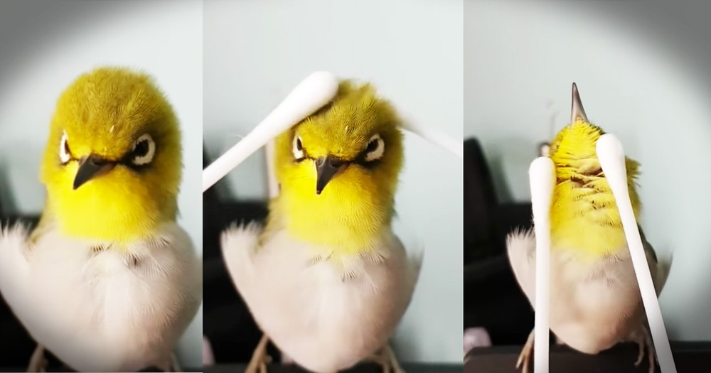 Tiny Bird Getting A Q-tip Massage Is Too Cute