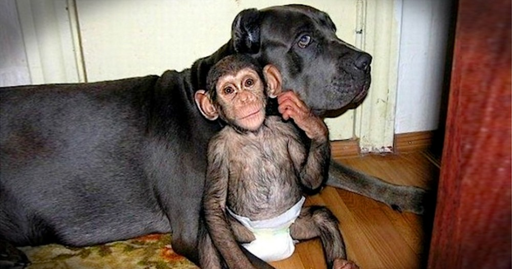 An Orphan Chimp Gets Adopted By The Most Unlikely Mother