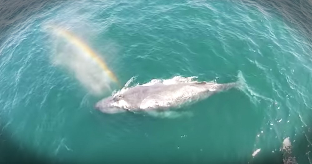Whale Creates Rainbow From Blowhole