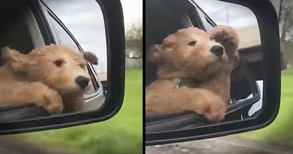 Puppy Loves Sticking His Head Out Of The Window