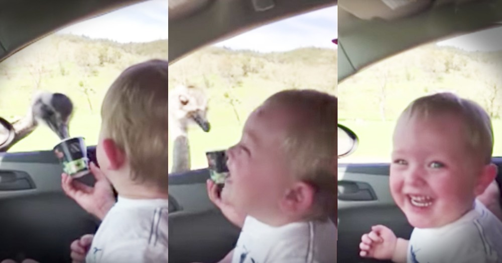 Little Boy Laughs Hysterically At An Ostrich Eating