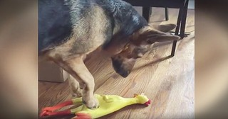 German Shepherd Howls At Rubber Chicken