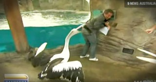 Weatherman Gets Hilariously Attacked By Pelican